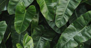 hama tumbuhan